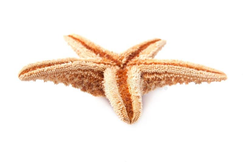 Starfish getrennt auf weißem Hintergrund stockbilder