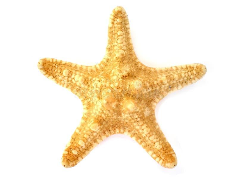 Starfish getrennt auf weißem Hintergrund lizenzfreies stockbild