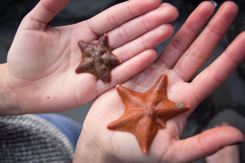 Starfish in hands on Sand Dollar beach. A person holding two starfish in their hands on the Sand Dollar Beach in California, near Big Sur stock photos