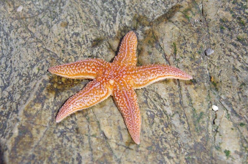 Starfish, Marine Invertebrates, Stachelhäuter, wirbelloses Tier lizenzfreies stockfoto
