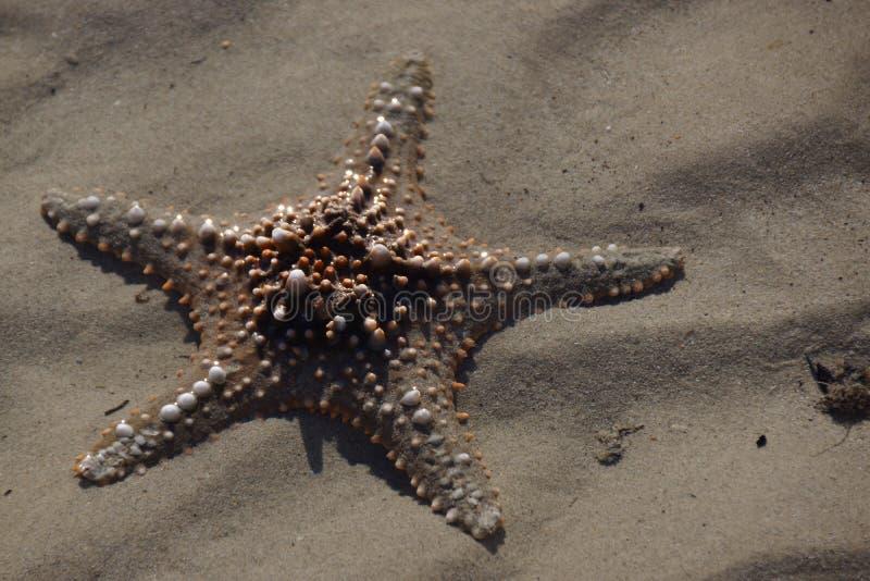 Starfish, Marine Invertebrates, wirbelloses Tier, Stachelh?uter stockbilder