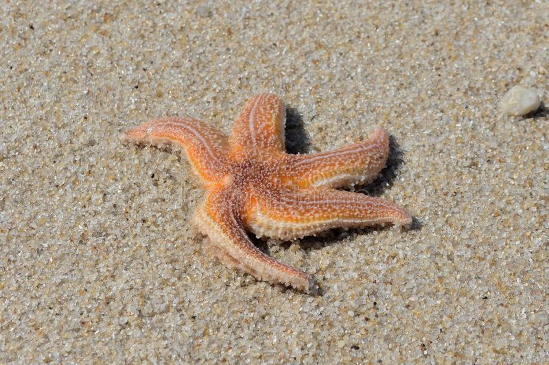 Starfish, Marine Invertebrates, wirbelloses Tier, Stachelh?uter lizenzfreie stockfotografie