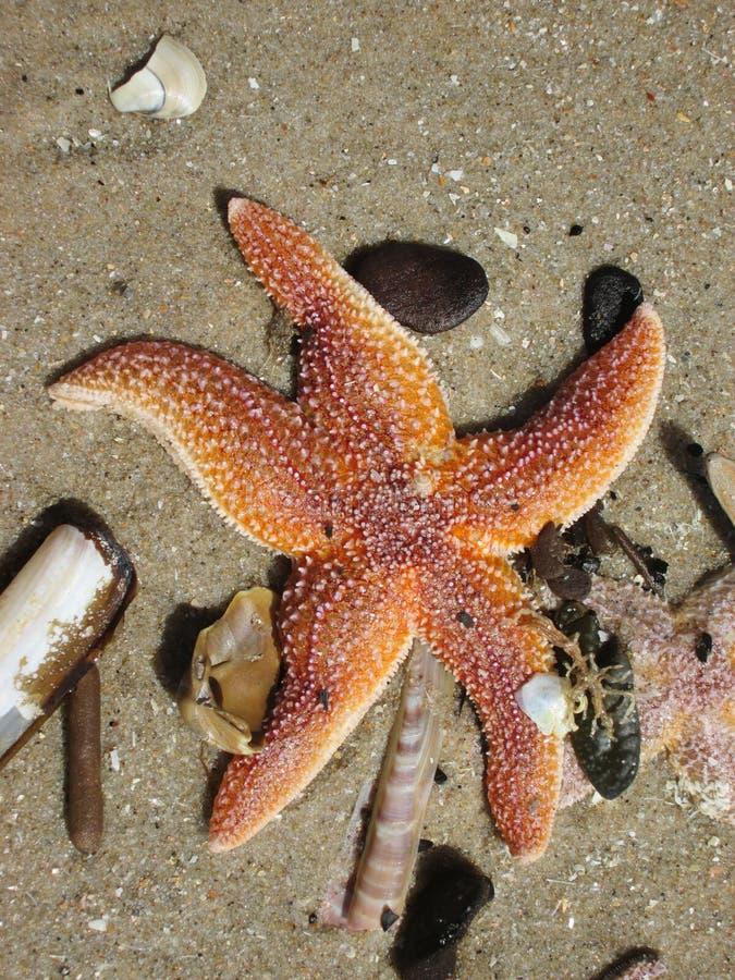 Starfish, Marine Invertebrates, wirbelloses Tier, Stachelh?uter lizenzfreies stockfoto