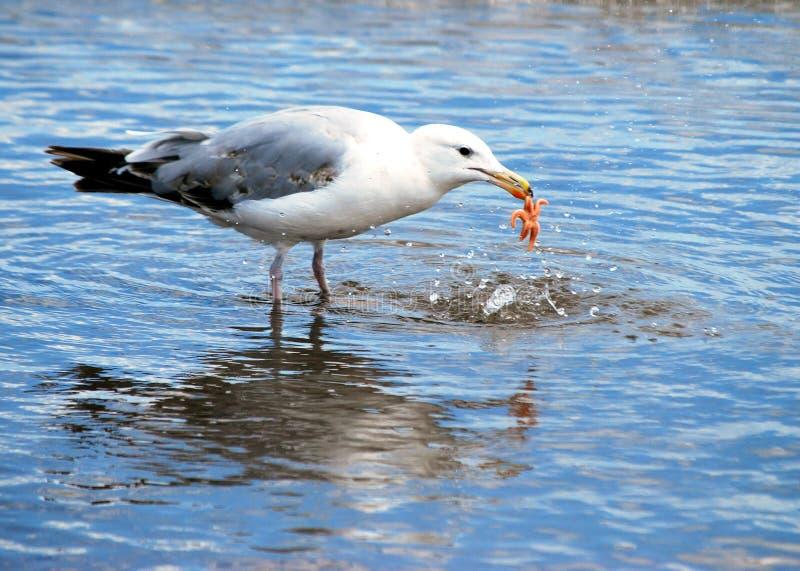 Download Starfish meal stock photo. Image of beak, beach, water - 13681496