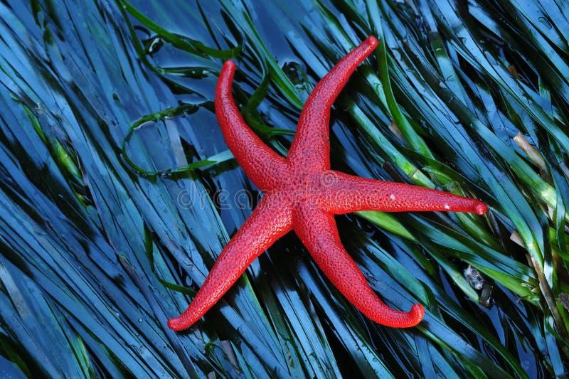 Starfish na alga fotografia de stock royalty free