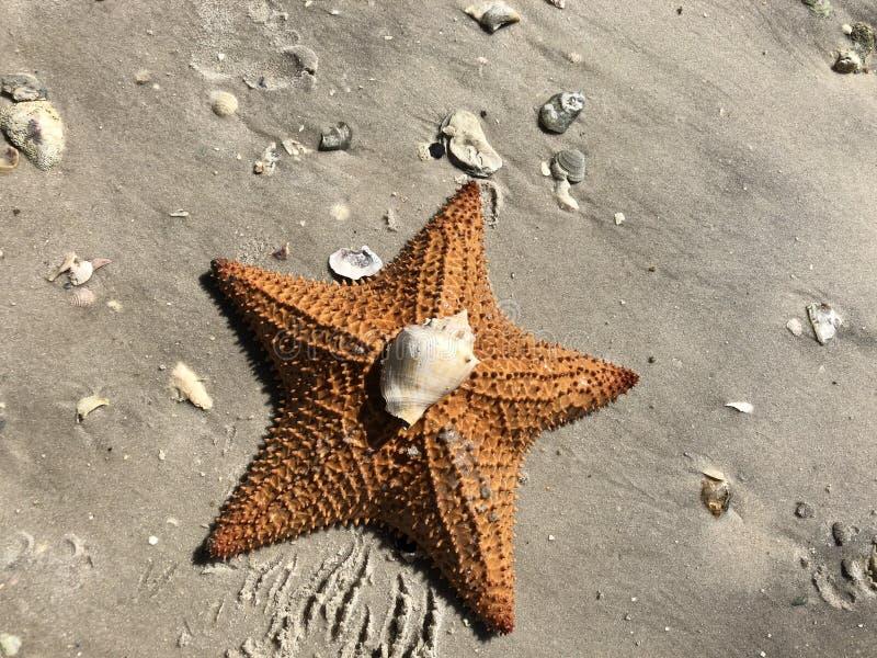 Starfish na costa imagens de stock