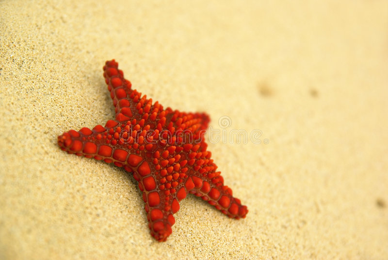 Starfish na praia. imagens de stock
