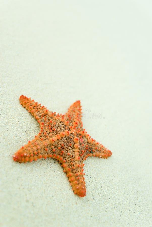 Starfish na praia. fotografia de stock