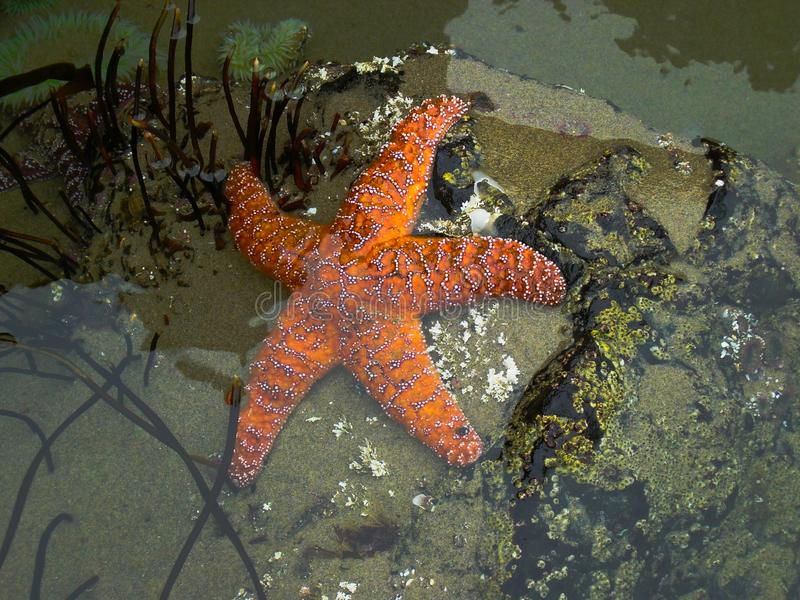 Healthy Star Fish aka Sea Star. Starfish near Cannon Beach Oregon at low tide. Exposed in the tide pool, this starfish from 2005 has healthy appearance prior to stock photo