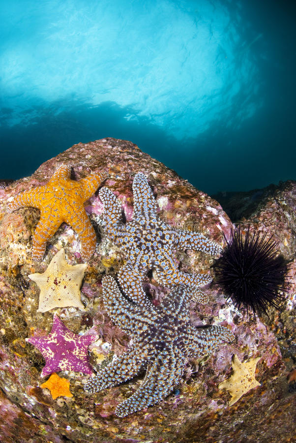 Starfish no recife fotografia de stock royalty free