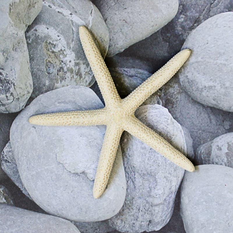 Starfish no seixo foto de stock royalty free