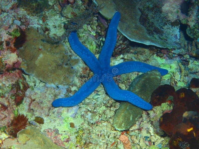 Starfish fotografia de stock