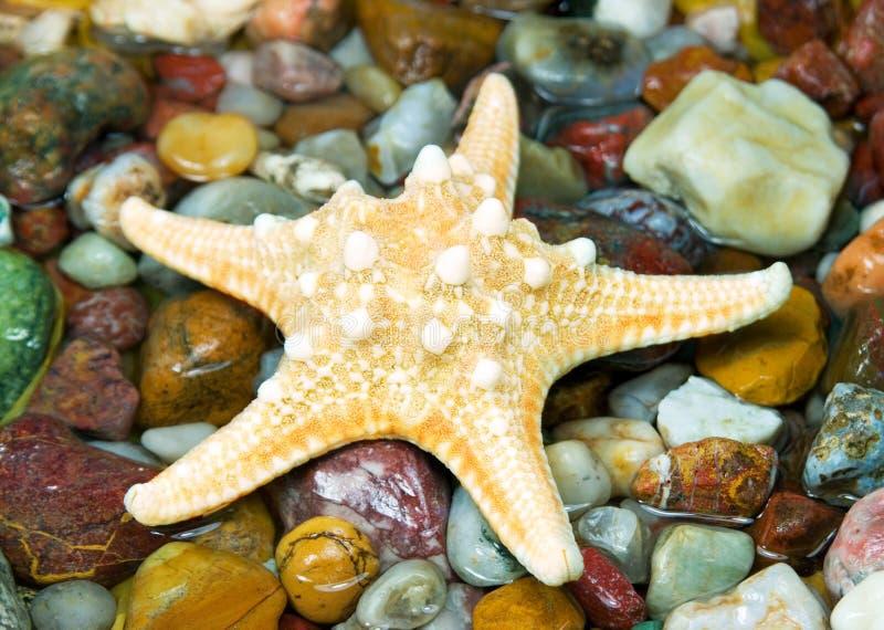Starfish on pebble stock image