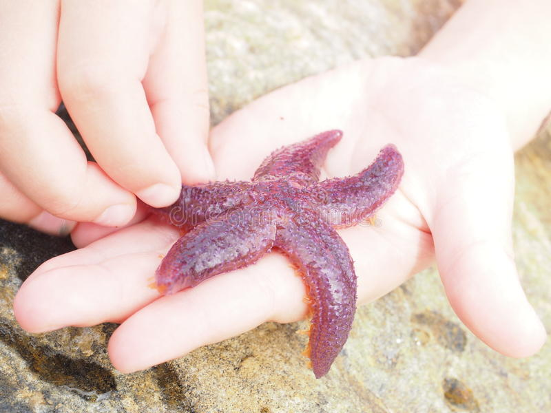 Starfish purple color out of water, on child's fingers. Starfish purple color out of water, walking across a child's fingers royalty free stock photos