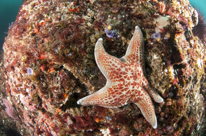 Starfish on Reef. A starfish nestles into the reef on Santa Barbara Island, Channel Islands, California stock photo