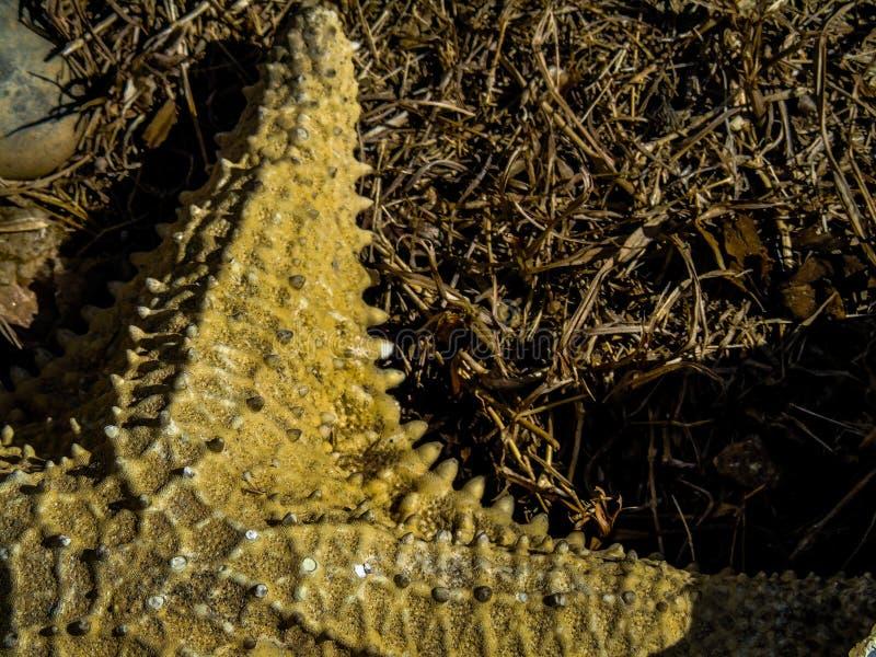 Starfish schließen oben lizenzfreies stockfoto