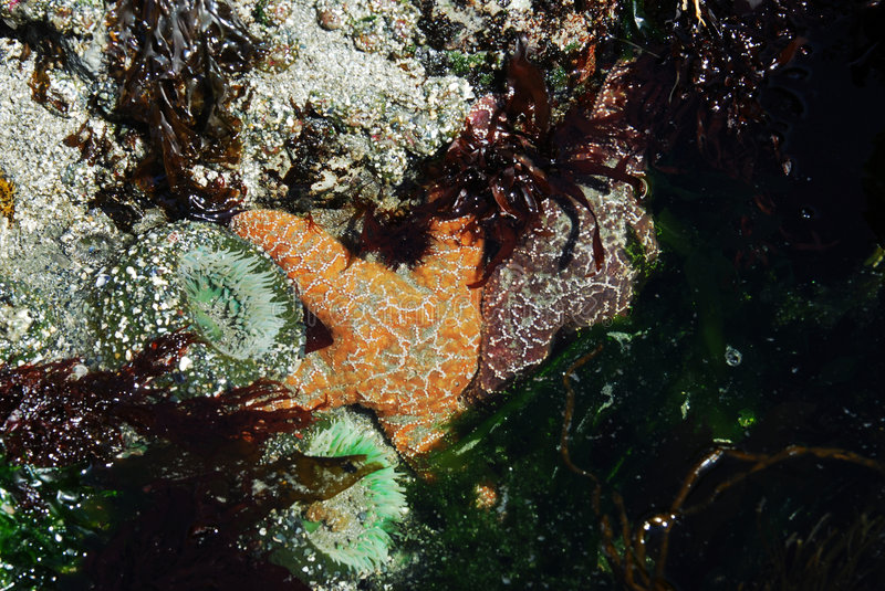 Starfish and sea anemone stock photography