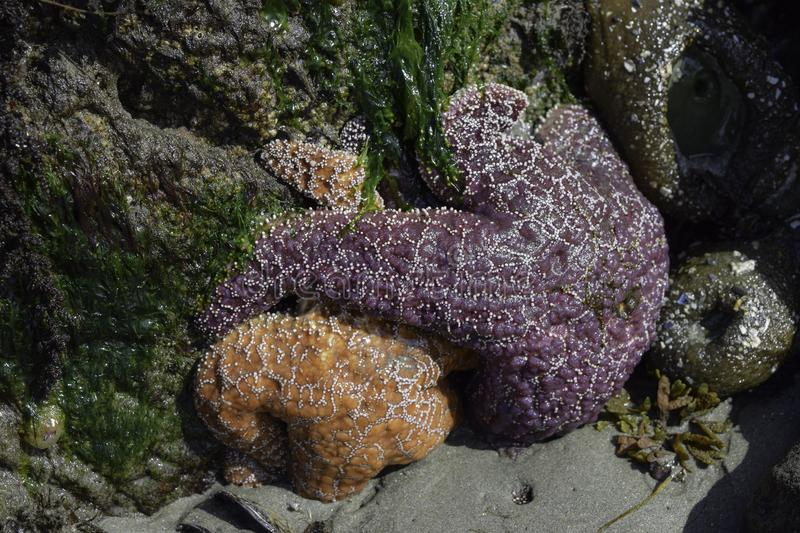 Starfish And Sea Anemones stock image