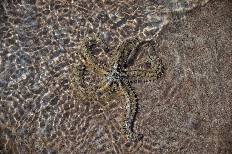 Starfish in Shallow Water royalty free stock photography