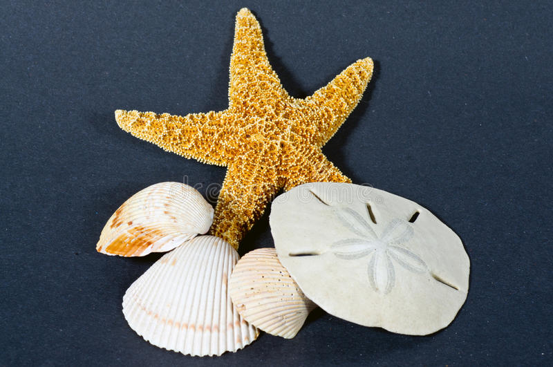 Starfish shells and sand dollar. Closeup of a group of Starfish shells and sand dollar on a dark background stock photography