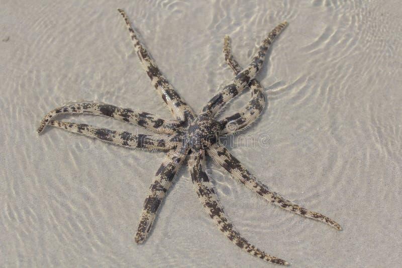 Starfish. Sea shore seastar  ocean royalty free stock images