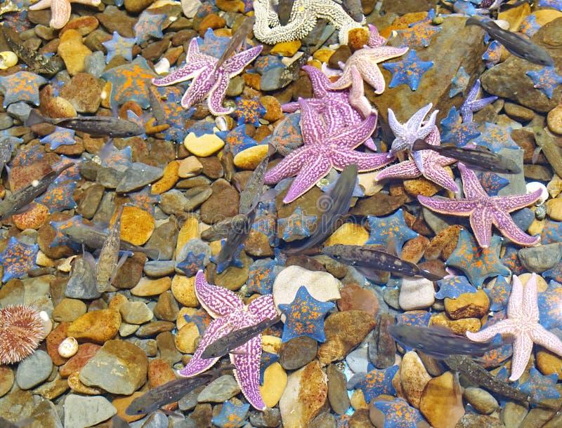 Starfish on a stony bottom royalty free stock photo