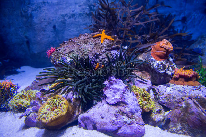 A starfish in a tank with stones royalty free stock photos
