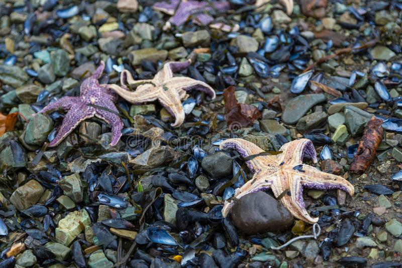 Starfish on the beach, Petropavlovsk-Kamchatsky, Russia. royalty free stock photography