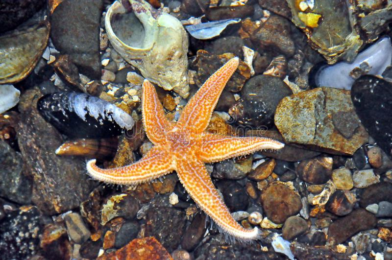Starfish in a Tide Pool stock images