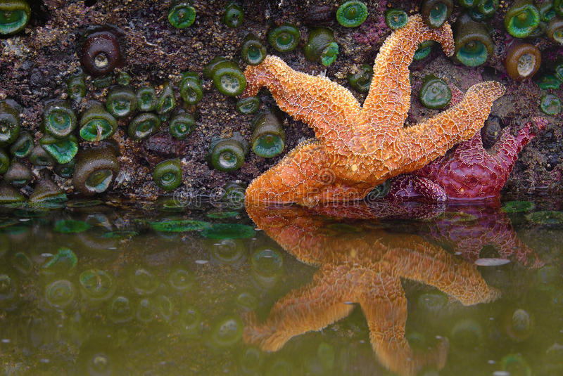 Starfish, Tidepools, Oregon-Küste lizenzfreie stockfotografie