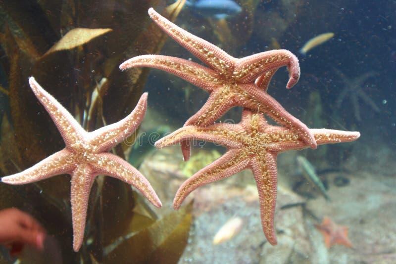 Starfish-Trio stockbilder