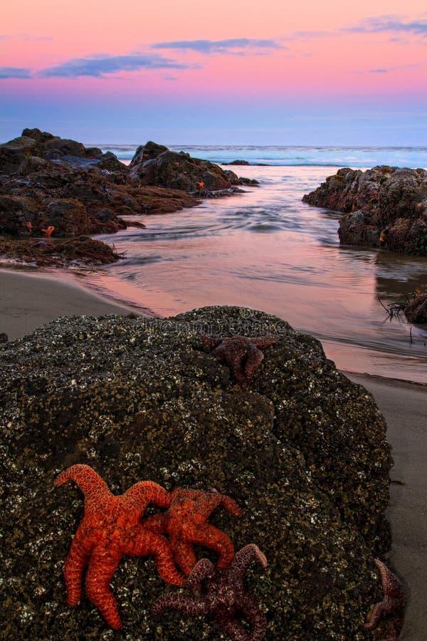 Starfish at Twilight, Yachats, Oregon royalty free stock images