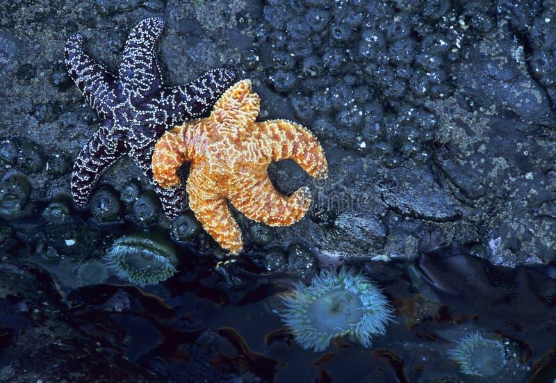 Starfish und Seeanemone stockfotos