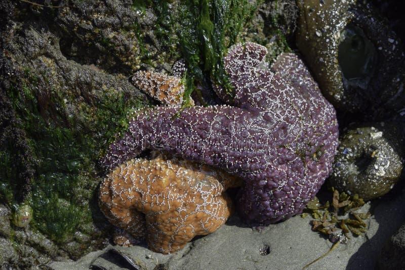 Starfish und Seeanemonen stockbild