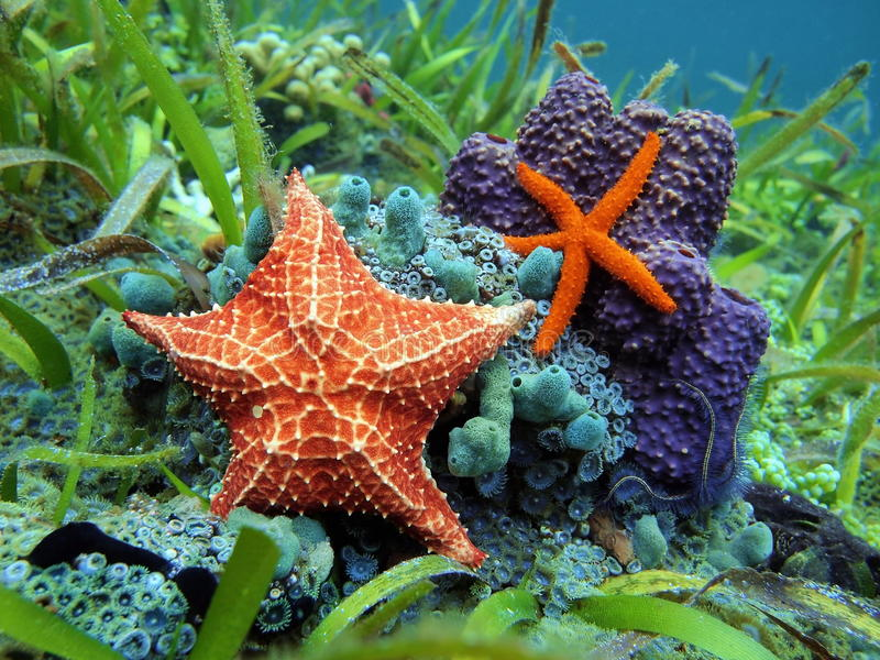 Starfish underwater over colorful marine life. Starfishes underwater with a common comet star and a cushion sea star over colorful marine life, Caribbean sea