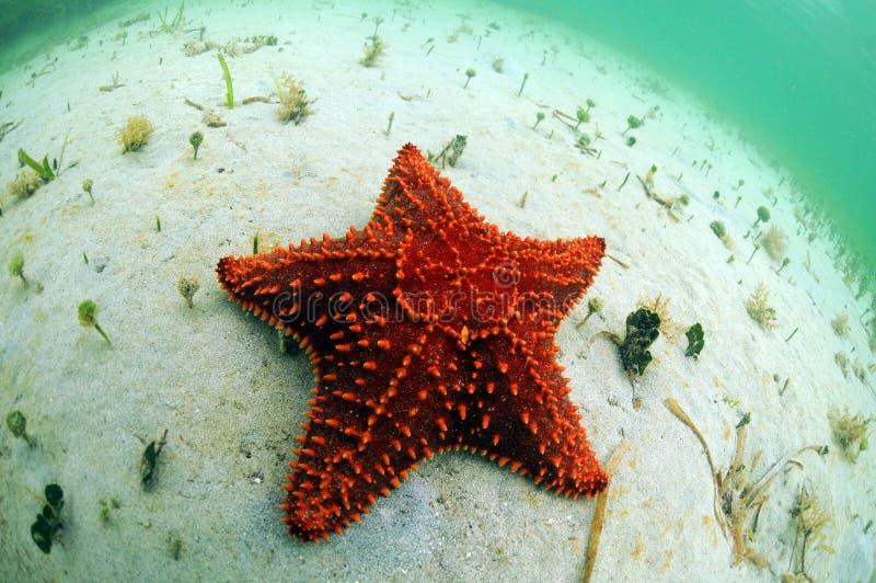 Starfish vermelhos no oceano fotografia de stock royalty free