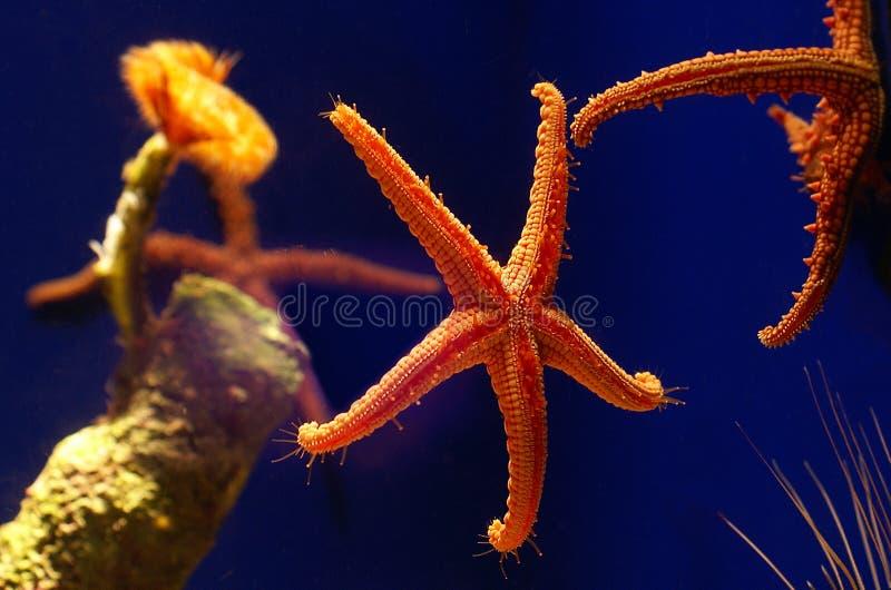 Starfish vivos na água fotografia de stock royalty free