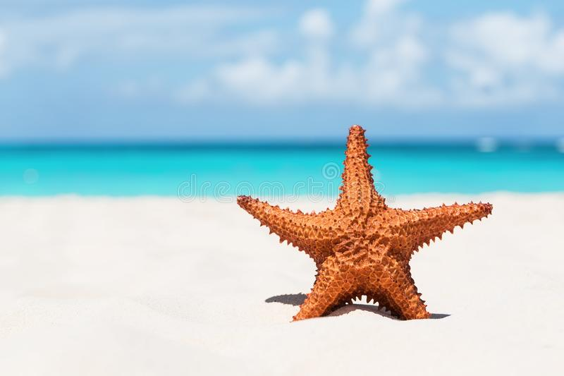 Starfish on white sandy beach royalty free stock image
