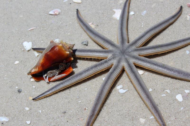 Starfish, wirbelloses Tier, Marine Invertebrates, Organismus stockbild