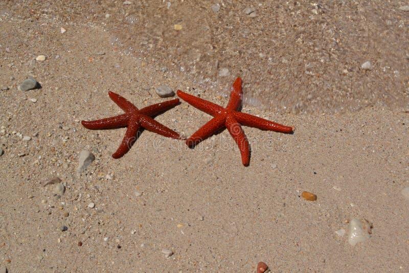 Starfish, wirbelloses Tier, Marine Invertebrates, Stachelhäuter stockfoto