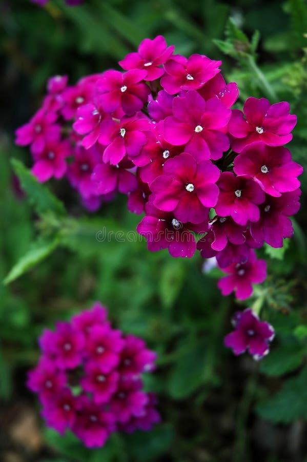 Starflower stock fotografie