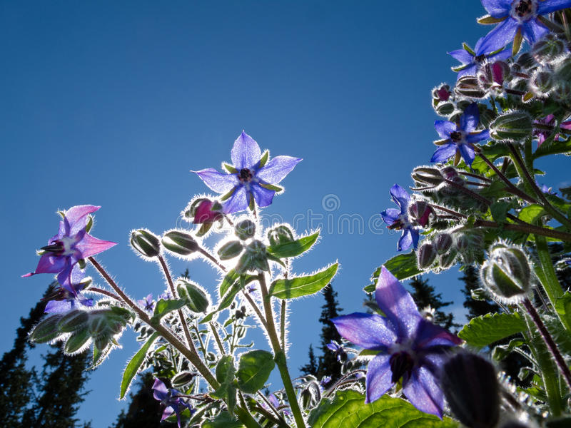 Starflower, officinalis Borago royalty-vrije stock foto