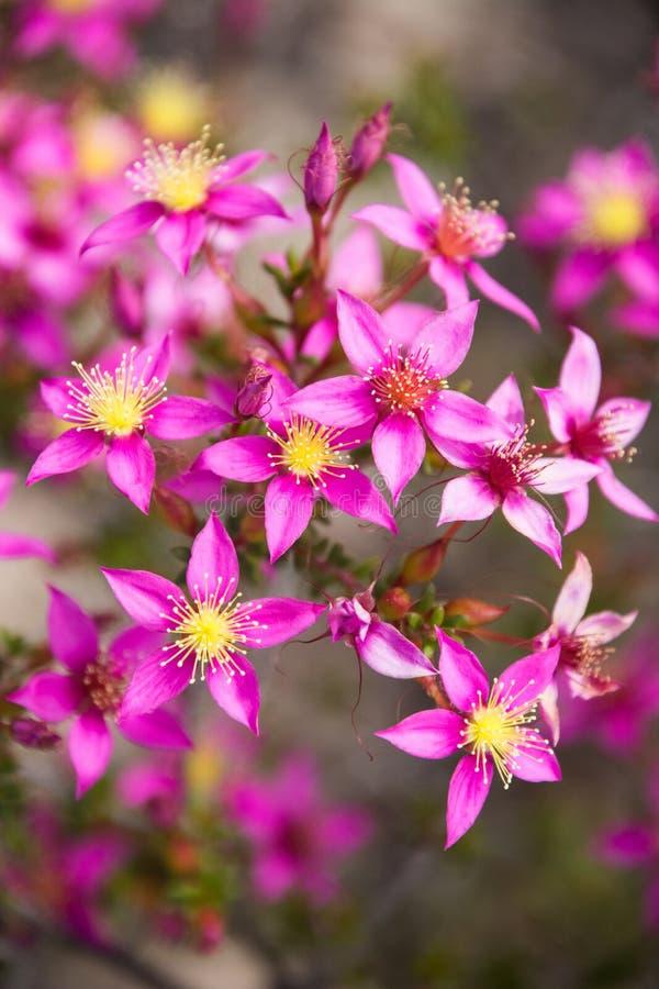 Starflower porpora del wildflower indigeno di Australia occidentale macro fotografia stock