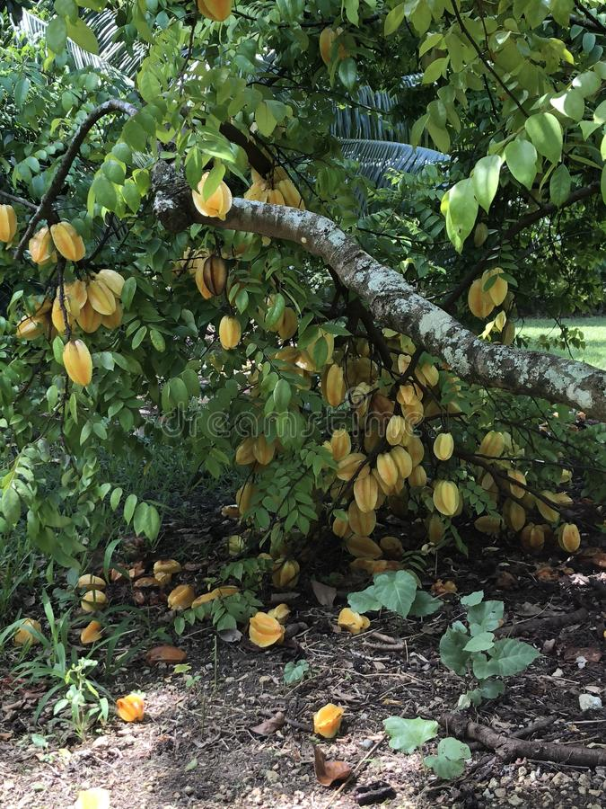 Starfruit on tree in South Florida, USA. Close up of ripe fruits on branches of averrhoa carambola or tropical starfruit tree in sunny South Florida, USA royalty free stock images
