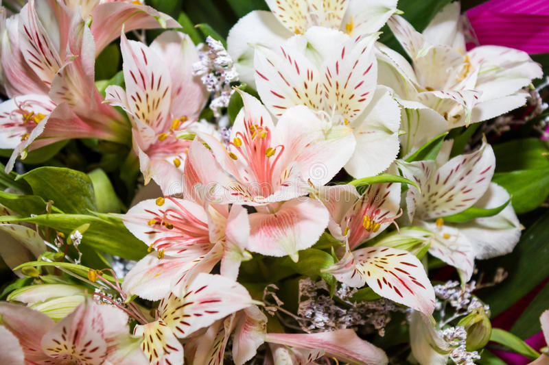 Download Stargazer Lilies stock image. Image of fragile, delicate - 25566193