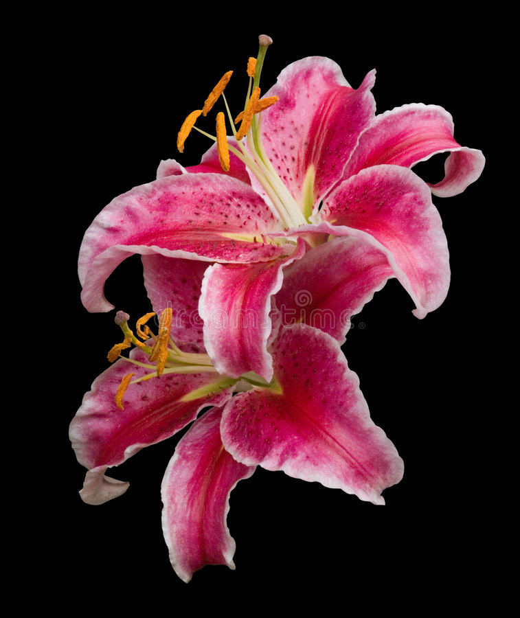 Download Stargazer lilies stock photo. Image of closeup, petals - 6255152
