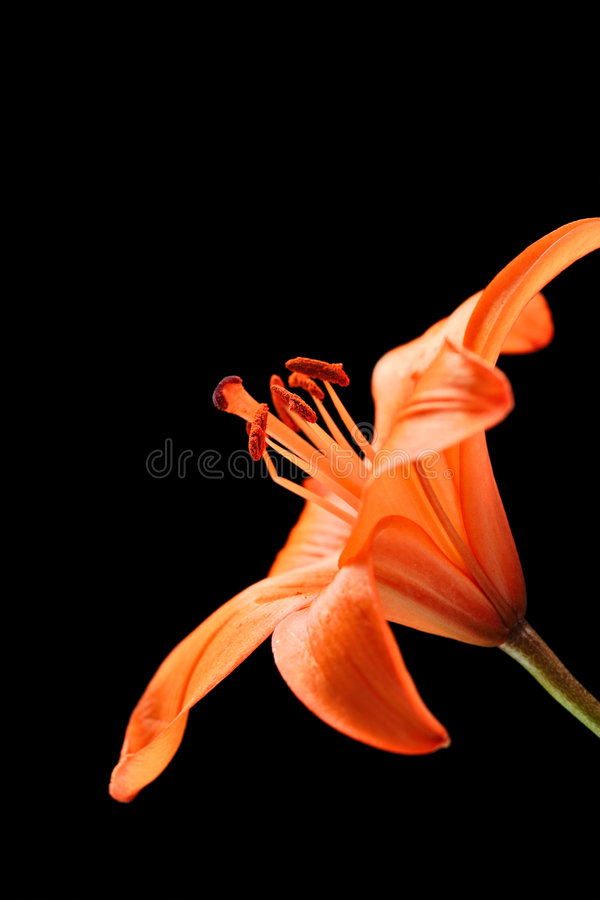 Stargazer Lily. Against black background royalty free stock photos