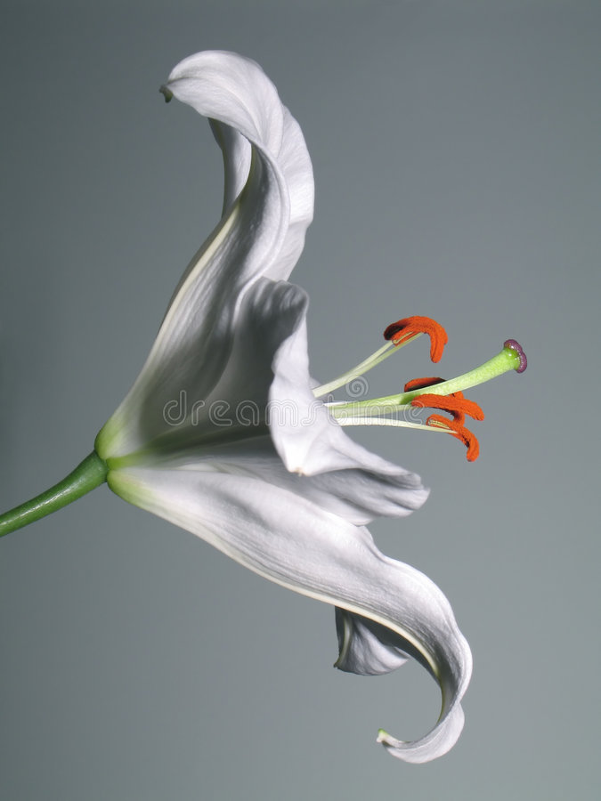 Stargazer Lily royalty free stock photos