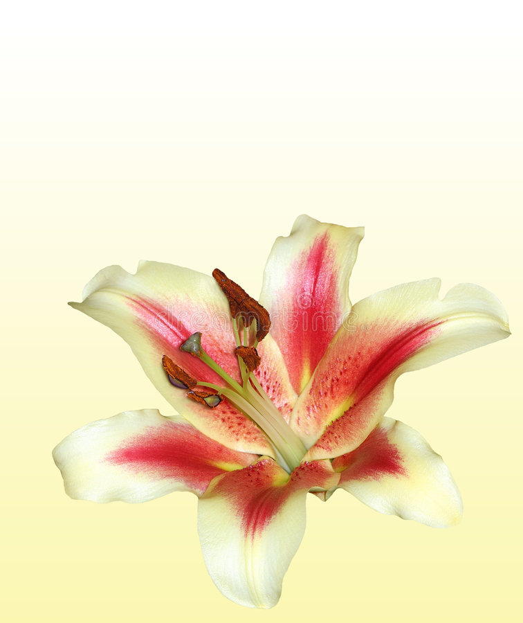 Stargazer Lily. Isolated on a cream and white gradient background stock image