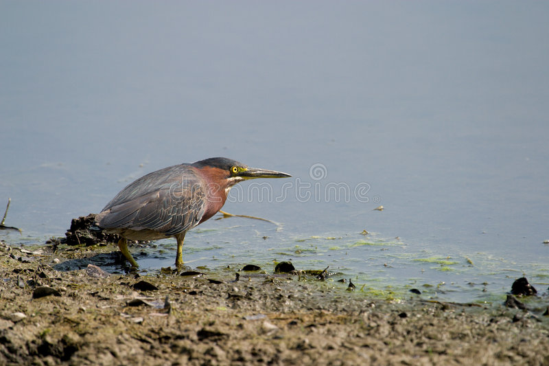 Download Staring Bird stock photo. Image of algae, still, calm - 3175156